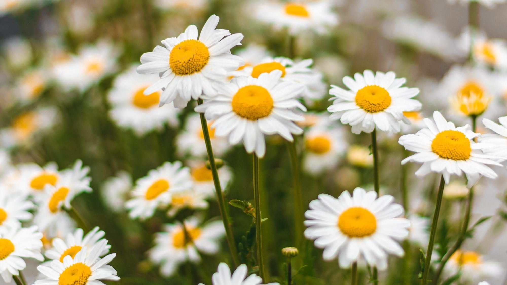 A close up image of a field of white and yellow daisies.